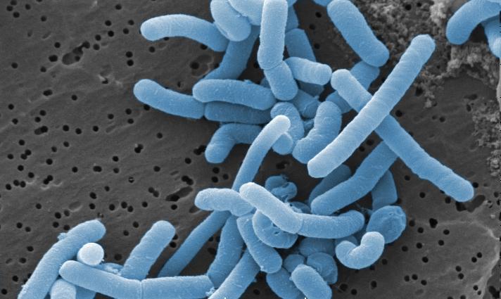 Mællkesyrebakterier er sandsynligvis sunde for os